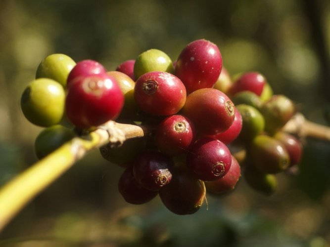 Coffee planters say at least 40% Arabica, 30% Robusta crops lost