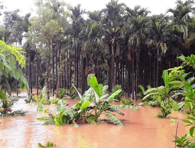 Tunga river inundating arecanut plantation at Narve village in Koppa.