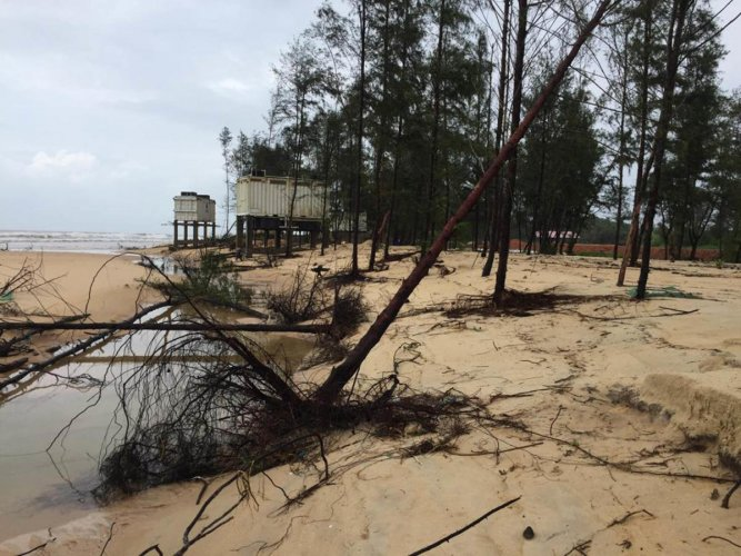Trees uprooted by huge waves at Padubidri beach.