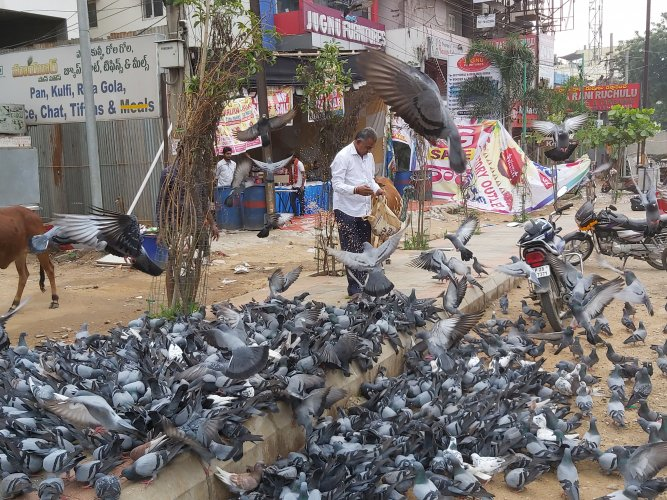 Recently, the Greater Hyderabad Municipal Corporation (GHMC) captured over 500 pigeons from the Moazzam Jahi market area and released them in the forests near Srisailam. DH Photo
