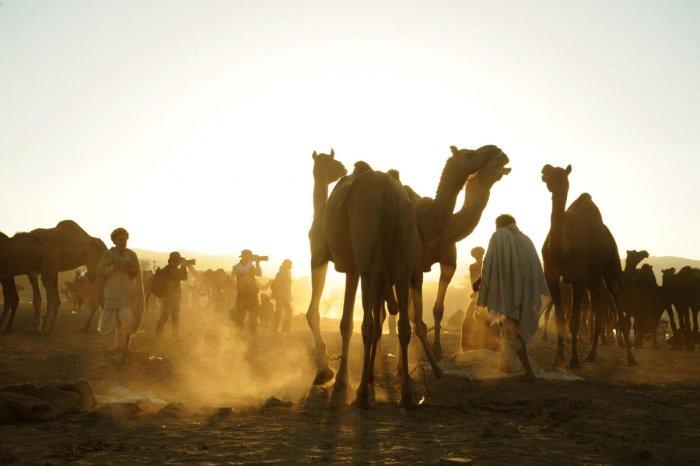 Camels kick golden sand at the camel grounds