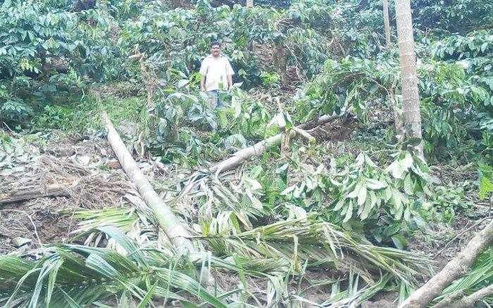 The arecanut trees damaged by the tusker at Moolarahalli at Mudigere taluk.