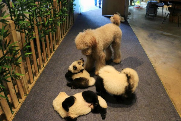 Chow Chow dogs dyed to look like giant pandas play with another dog at a pet cafe in Chengdu. (Reuters photo)