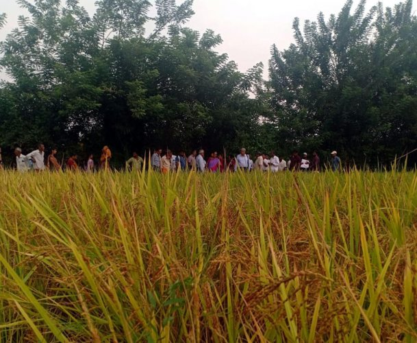 Paddy cultivated using the koorige method of sowing at a field in Udupi.