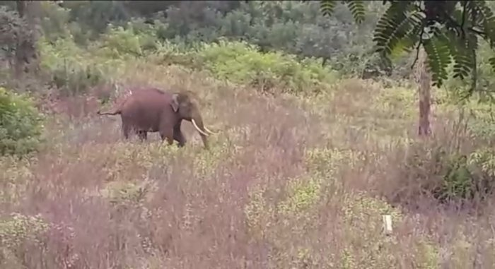Screengrab of the lone tusker that reappeared in HD Kote's Madapur village after getting separated from the herd two days ago.