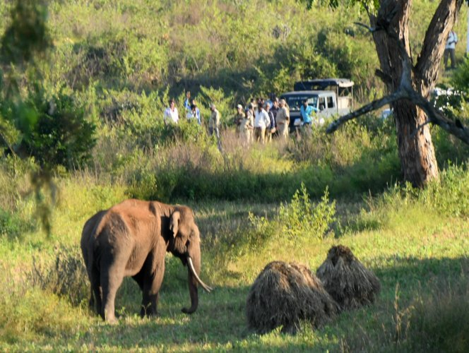 A tusker seperated from the herd wanders close to a populated area in HD Kote taluk, in Mysuru, Sunday, Nov. 3, 2019. (PTI Photo)