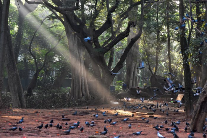 Sun rays braking the mist and reach earth, it is wonderful morning at Sri Chamarajendra Park (Cubbon Park) in Bengaluru on Sunday. Photo by S K Dinesh