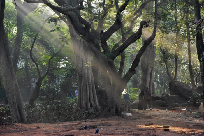 Sun rays braking the mist and reach earth, it is wonderful morning at Sri Chamarajendra Park (Cubbon Park) in Bengaluru. (Photo by S K Dinesh)