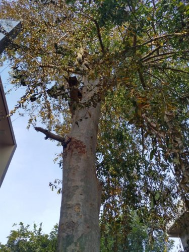 Holes drilled into the base of the 15-year-old tree in RR Nagar to inject poison.