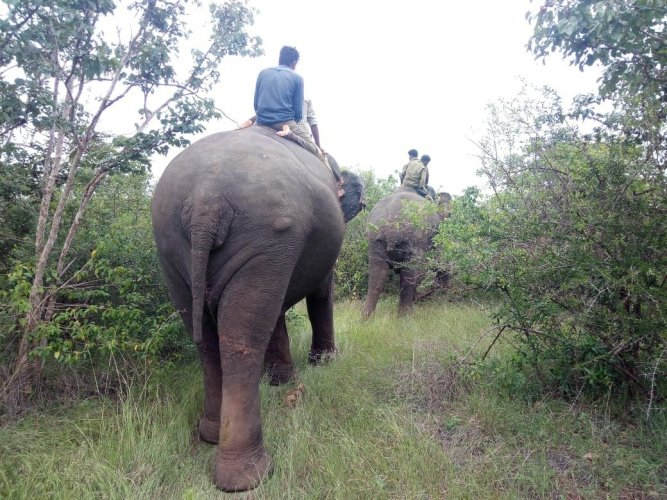 Tamed elephants being used during the search operation, in Hunsur taluk, on Sunday. (DH Photo)