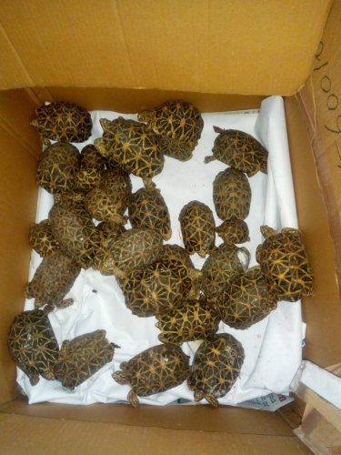 Acting on a tip-off,forestofficialsarrested a man who was said to be illegally transporting star tortoises early on Friday morning.(DH Photo)