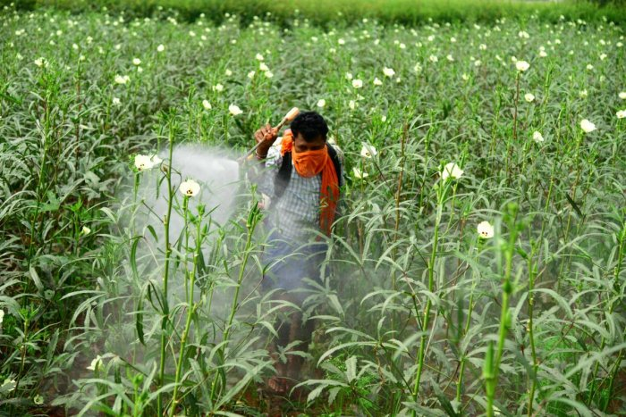 Farmers spraying pesticides on okra and paddy crops in Koppal and Raichur districts respectively. dh photos/ Bharath kandakur and anitha pailoor