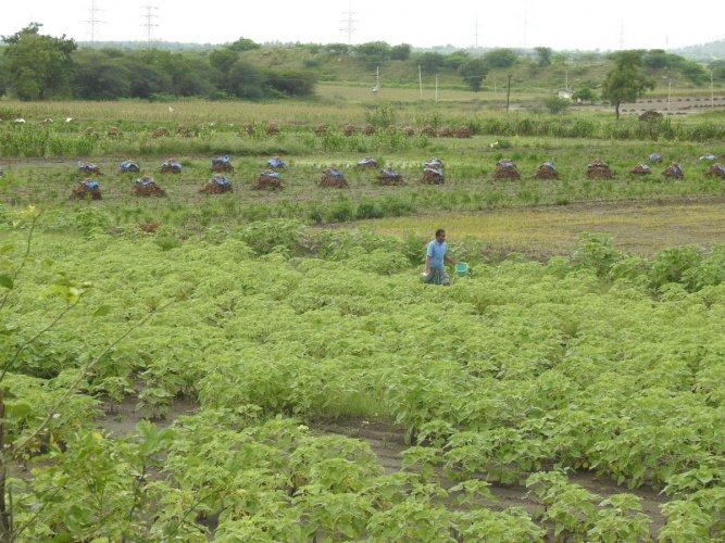A farm in Haveri district. DH Photo/Anita Pailoor