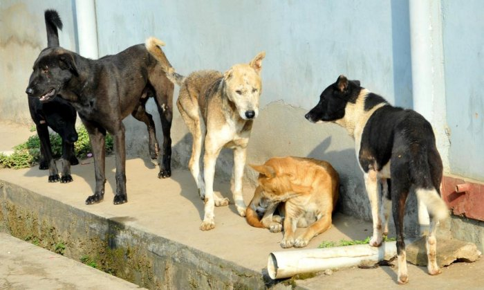 Stray dogs in a layout in Chikkamagaluru.