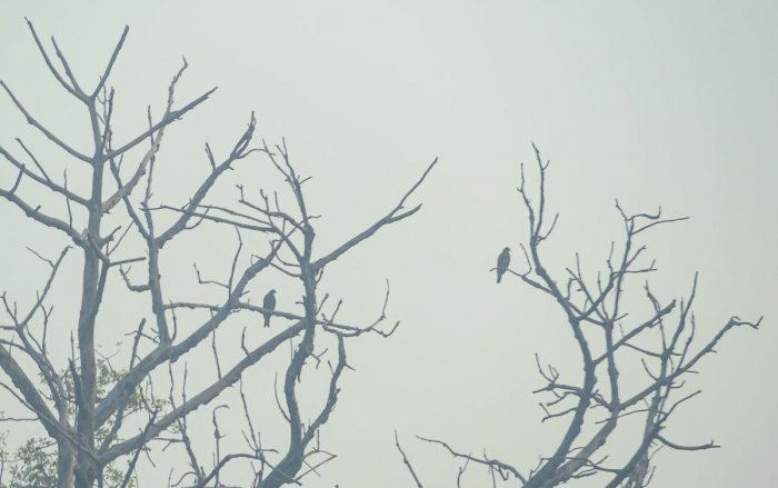 New Delhi: A pair of birds rest on the branches of a tree as it is shrouded in smog, in New Delhi, Tuesday, Nov. 12, 2019.