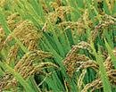 Flood-tolerant paddy likely to debut in Karnataka