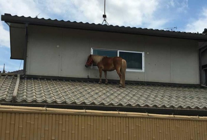 Miniature horse on the rooftop in Japan after the flood. (Courtesy: @PeaceWindsJapan/Twitter)