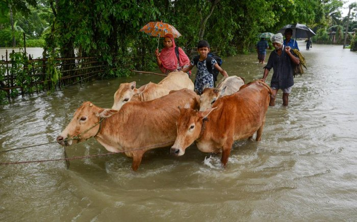 Villagers along with their cows move to a safer place from a flooded area, at Kamrup district, Assam. (PTI Photo)