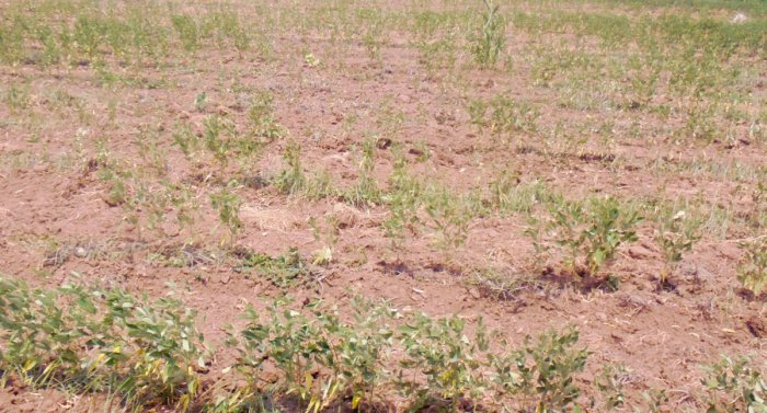 Tur crop is wilting for want of water at a farm at Ashapur in Raichur taluk. After a devastating flood, farmers in the district are grappling with drought. (DH Photo)