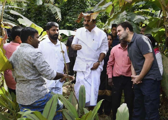 Former Congress president and Wayanad MP Rahul Gandhi along with party leader KC Venugopal inspects a flood-affected farm at Mananthavady in Wayanad. (PTI Photo)