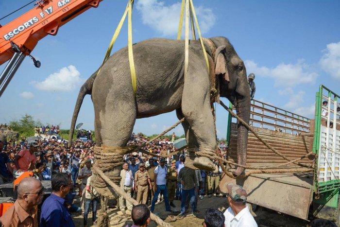 A tranquilized wild Indian elephant named after Al-Qaeda leader Osama bin Laden (PTI Photo)