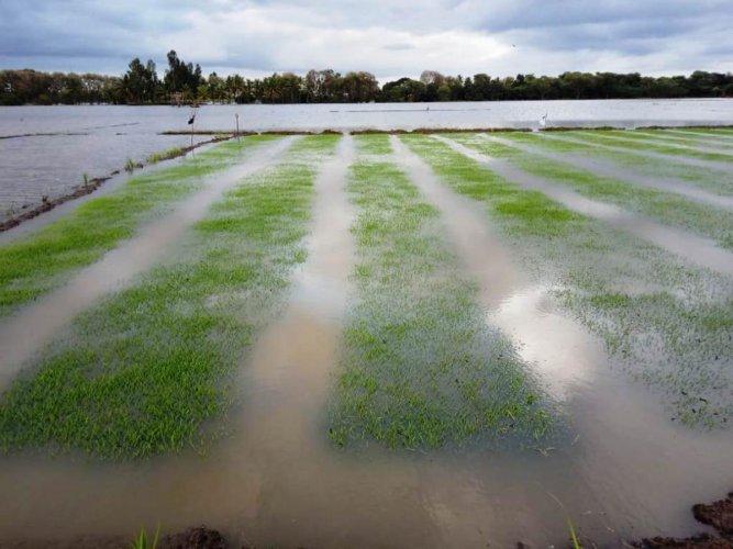 An inundated paddy field in Nagarle village of Varuna, Mysuru taluk. DH PHOTO