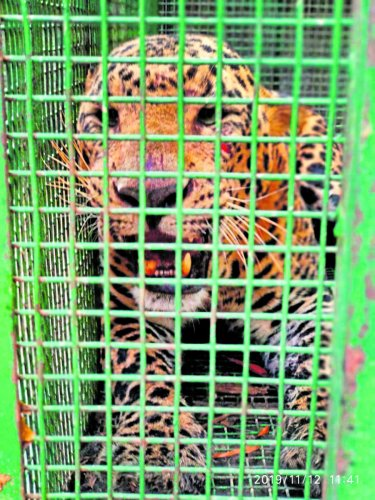 A five-year-old male leopard was trapped in a cage and was later released into Kollur reserve forest on Tuesday night.