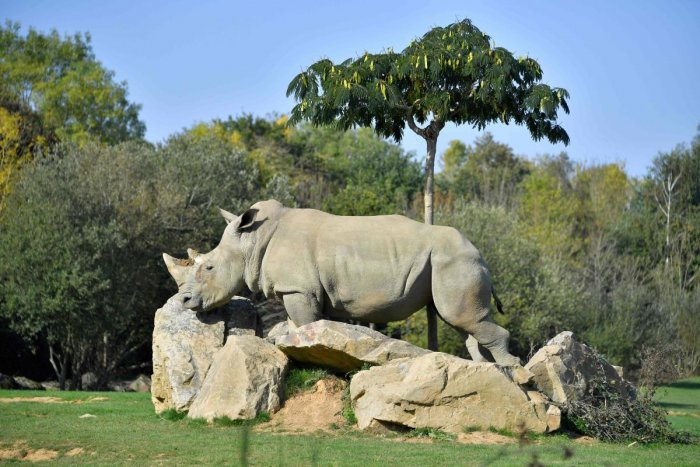 Sana, a female white rhino strolls through its enclosure at the La Planete Sauvage zoological park in Port-Saint-Pere, western France. (Photo by AFP)