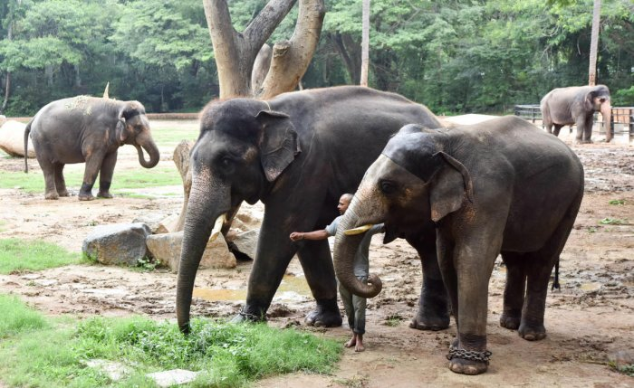 At least 10 elephants out of 24 from the Sakrebailu Elephant Camp have been shifted to Nandahalli pond near Hayhole dam. DH FILE PHOTO