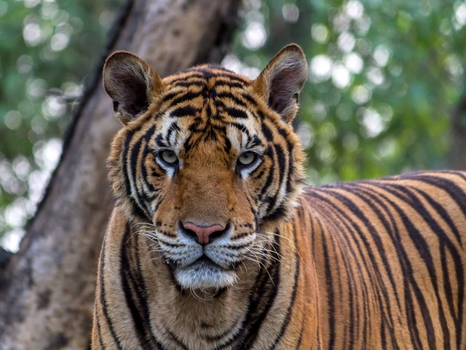 The proposal to declare Guru Ghasidas national park as a tiger reserve was made in June 2011 by then minister of state (independent charge) for the environment and forests Jairam Ramesh to then Chhattisgarh Chief Minister Raman Singh. The area was surveyed by the Wildlife Institute of India in 2010. Representative Image/Pixabay