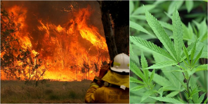 Police said a 51-year-old man appeared before a local court on Saturday charged with intentionally lighting a fire at Ebor in New South Wales state in an attempt to protect his cannabis crop.