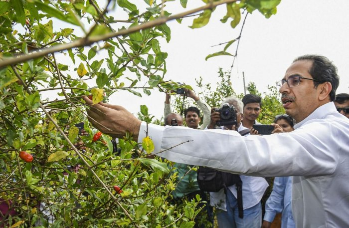 Shiv Sena chief Uddhav Thackeray inspects crops while meeting with the farmers, whose crops and lands have been affected due to unseasonal rains, in Sangli, Maharashtra. Photo/PTI