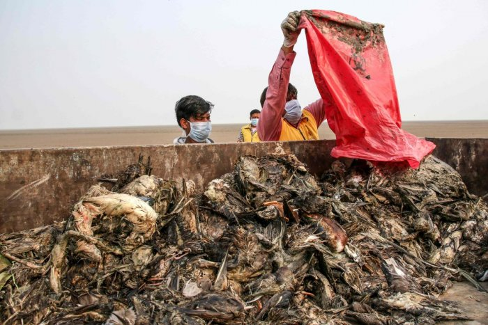 Workers gather dying birds in a truck at Sambhar Salt Lake in India's northern state of Rajasthan. (AFP Photo)