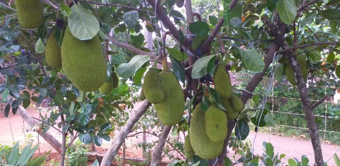 Jackfruits at Ayurjack Farm in Thrissur, Kerala.