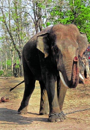 A file photo of Kusha at Dubare Elephant Camp.