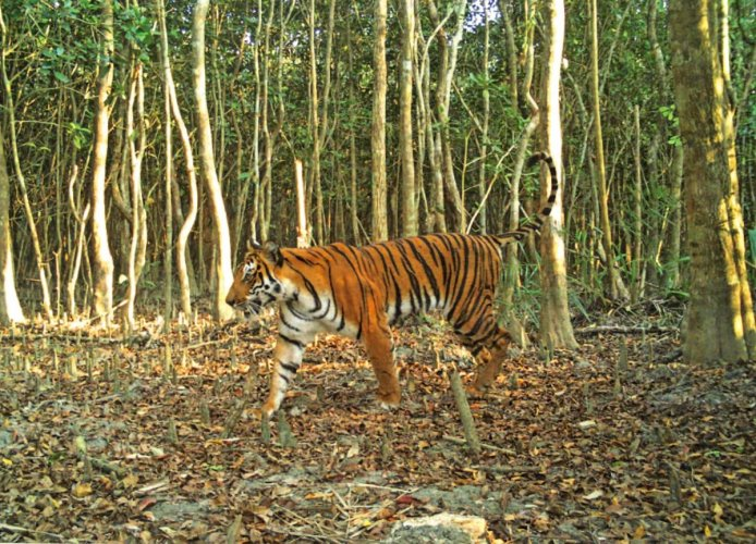 A Bengal tiger in Sunderban. (AFP file photo)
