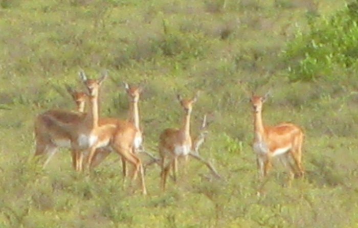 A file photo of blackbucks at Basur Kaval in Kadur taluk.