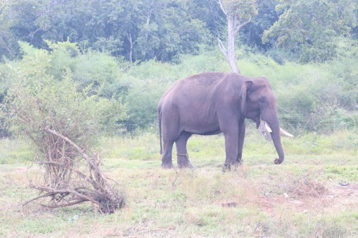An elephant, captured in Chettalli, has now been released from the kraal.