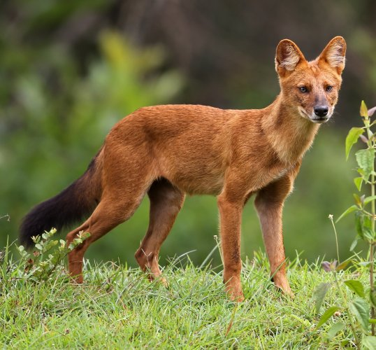 The Indian Wild dog or the dhole bears resemblance to the ordinary village cur, but its ears are more rounded, its coat is rust-coloured, and it has a bushy tail with black tuft. Photo/Wikipedia