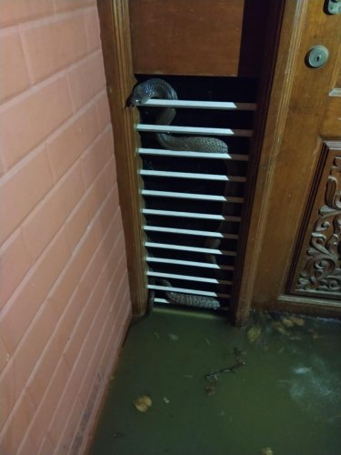A snake found in a house in Hulimavu on Monday. DH photo