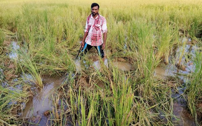The standing paddy damaged by elephants at Hoskere in Mudigere taluk.