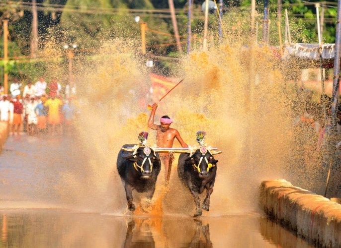 A file photo of Kambala race.
