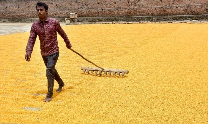 A labourer dries tur in Kalaburagi. DH Photo/Prashanth H G