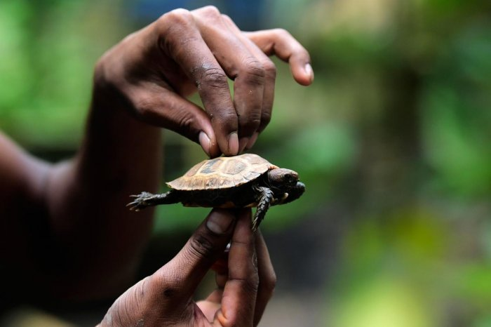 A worker holds a baby of an Asian giant tortoise at the Turtle Conservation Centre at a forest reserve in Rajendrapur, some 40 kilometres (25 miles) north of capital Dhaka. - The newly hatched tortoises take their first steps in a small box, their feet barely visible under bony shells. (Photo by AFP)