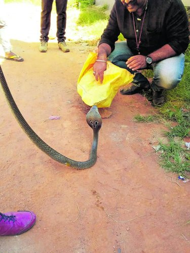 A cobra which was struggling with a plastic container stuck to its body, was rescued by Sharath Kanth and his team, in the premises of Primary Agricultural Credit Cooperative Society in Ponnampet.