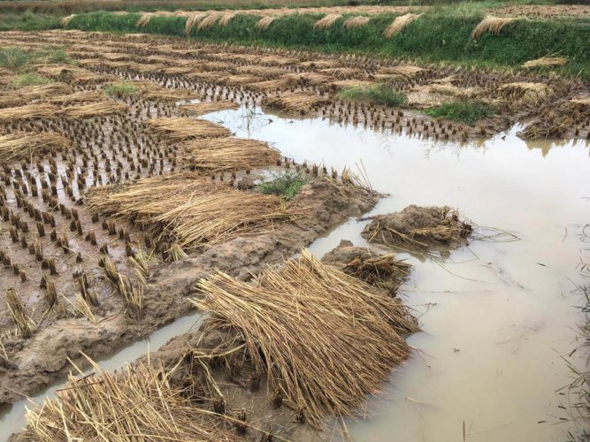 Harvested paddy affected due to rain at Mugatageri in Gonikoppa.