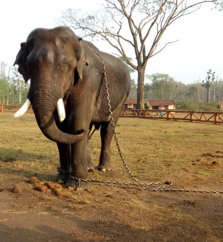 An elephant at Dubare elephant camp.