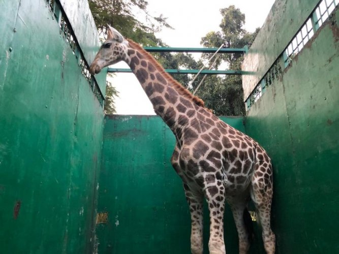 The giraffe being transported in a specially designed truck.photo by special arrangement