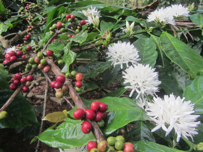 Coffee cherries and flowers. Photos by Author and Adithya K A