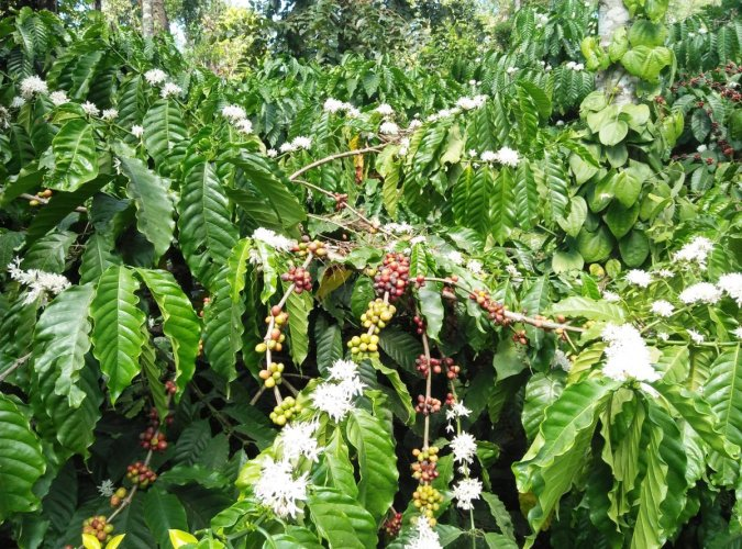The flowering in coffee plants when the coffee beans are yet to be harvested at Bidarahalli in Mudigere.